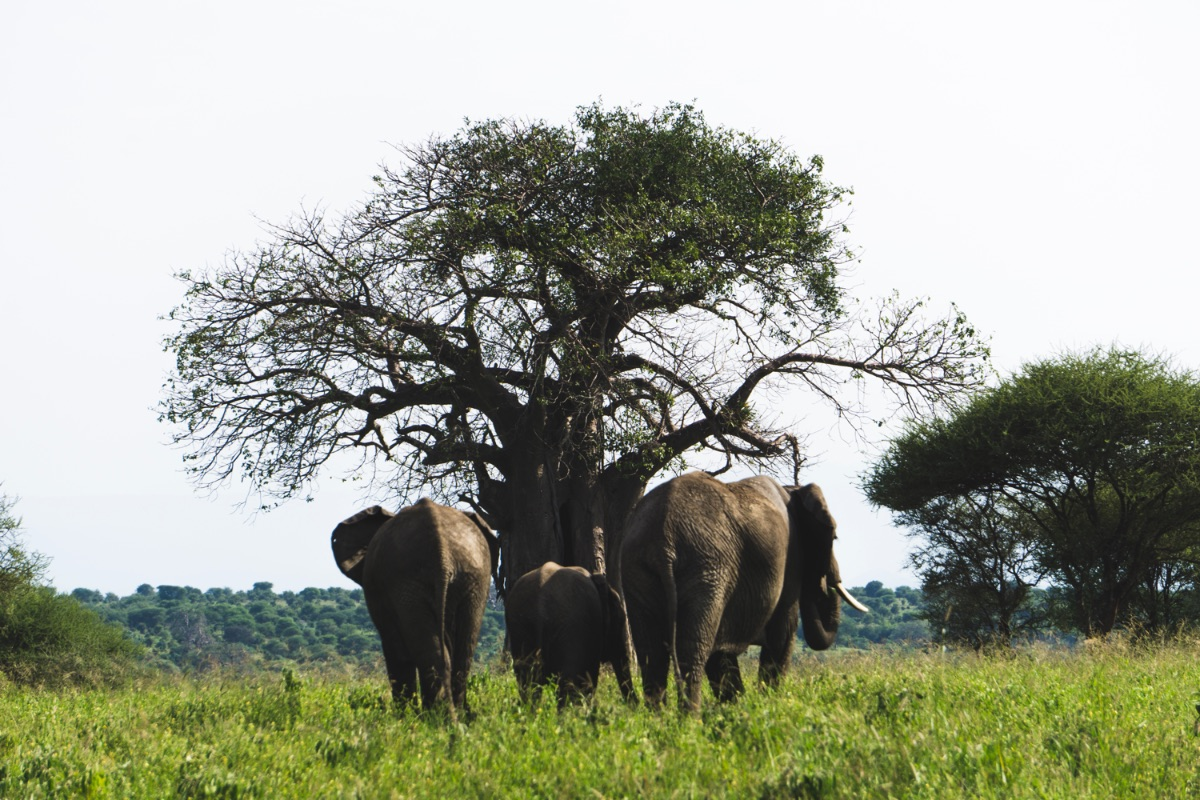 Giant African Baobab trees