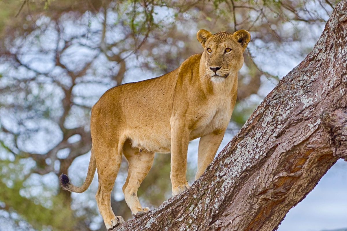 """Watchful"": A female lion standing in a tree in Tarangire National Park, Manyara, Tanzania, Africa."